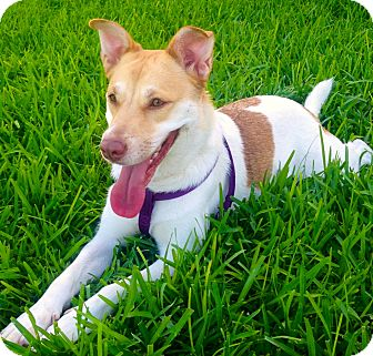 Collie/Husky Mix Dog for adoption in Miami, Florida - Lily