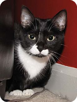 Domestic Shorthair Cat for adoption in Merrifield, Virginia - Black Jack & Diamond