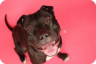Pit Bull Terrier/American Staffordshire Terrier Mix Dog for adoption in Minneapolis, Minnesota - Josie