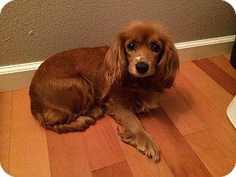 Cocker Spaniel/Dachshund Mix Dog for adoption in Palos Verdes Penninsula, California - Pumpkin