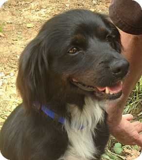 Border Collie Mix Dog for adoption in Media, Pennsylvania - LeeLee