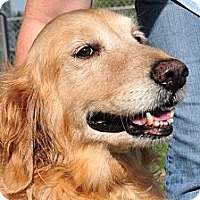 Adopt A Pet :: Lady (AKA Goldy Girl) - New Canaan, CT