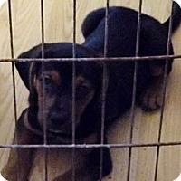 Adopt A Pet :: Tank - Bel Air, MD