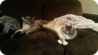 Siamese Cat for adoption in Anchorage, Alaska - Ike and Mike