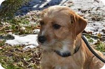 Terrier (Unknown Type, Small)/Maltese Mix Dog for adoption in Marlton, New Jersey - Foxy