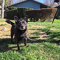 Schipperke Mix Dog for adoption in Sacramento, California - Corkey
