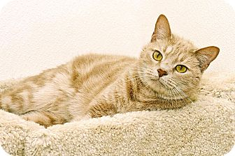 Domestic Shorthair Cat for adoption in Cashiers, North Carolina - Arther
