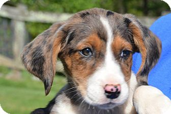 Hound (Unknown Type) Mix Puppy for adoption in Woodlyn, Pennsylvania - Diva