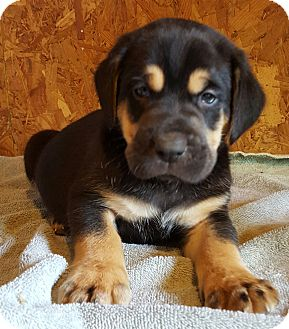 Bloodhound/Black and Tan Coonhound Mix Puppy for adoption in albany, New York - Marshall