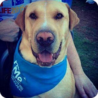 Labrador Retriever/Shar Pei Mix Dog for adoption in Norwich, Connecticut - Taylor