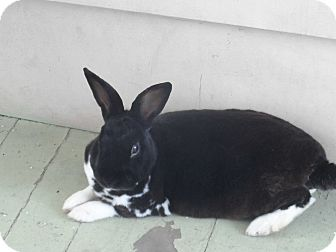 Mini Rex Mix for adoption in Hillside, New Jersey - Cowboy