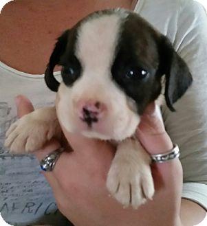 French Bulldog/Dachshund Mix Puppy for adoption in Chiefland, Florida - Bane