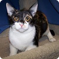 Adopt A Pet :: K-Calico-June - Colorado Springs, CO