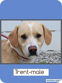 Labrador Retriever Mix Dog for adoption in Rochester, New York - Trent