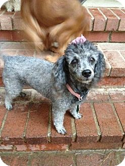 Poodle (Miniature) Dog for adoption in Conway, Arkansas - Maggie