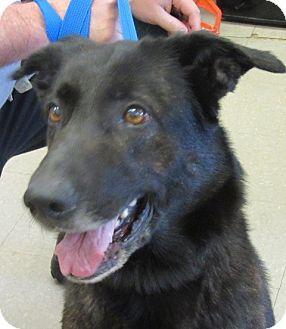 Labrador Retriever/Shepherd (Unknown Type) Mix Dog for adoption in Rockville, Maryland - Star