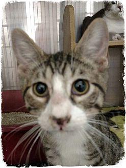Domestic Shorthair Kitten for adoption in Pueblo West, Colorado - Jerek