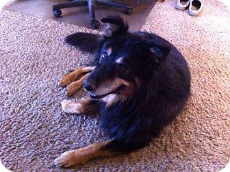 Bernese Mountain Dog/Australian Shepherd Mix Dog for adoption in Ogden, Utah - Bernie