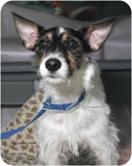 Wirehaired Fox Terrier Mix Dog for adoption in Long Beach, New York - Pete