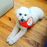 Poodle (Miniature) Dog for adoption in Long Beach, California - Lulu