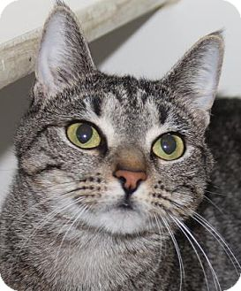 Domestic Shorthair Cat for adoption in Greensboro, North Carolina - Moira