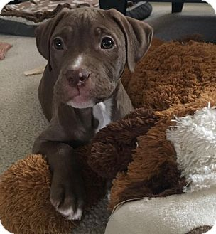 Pit Bull Terrier Mix Puppy for adoption in Baltimore, Maryland - Hermione