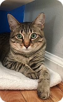 Domestic Shorthair Kitten for adoption in Mount Pleasant, South Carolina - Joy