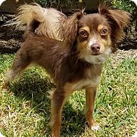 Adopt A Pet :: Dax - Los Angeles, CA