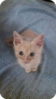 Domestic Mediumhair Kitten for adoption in Trenton, New Jersey - Franklin (KC)