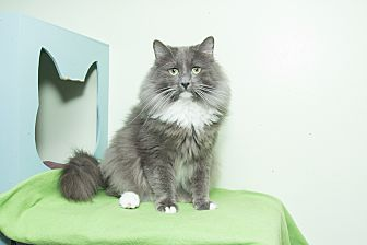 Maine Coon Cat for adoption in Chicago, Illinois - Raja