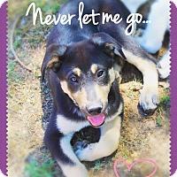 Adopt A Pet :: ALADDIN - Puppy Prince! - Chandler, AZ