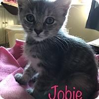 Domestic Shorthair Kitten for adoption in Covington, Kentucky - Jobie