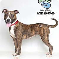 American Pit Bull Terrier Mix Dog for adoption in Knoxville, Tennessee - Molly