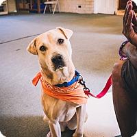 Adopt A Pet :: Nala - Indian Trail, NC