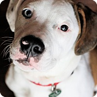 Adopt A Pet :: Astro - Nashville, TN
