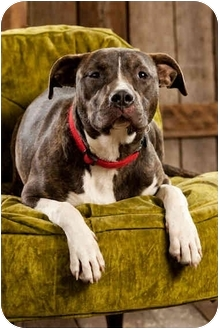 Pit Bull Terrier Dog for adoption in Portland, Oregon - Dolly