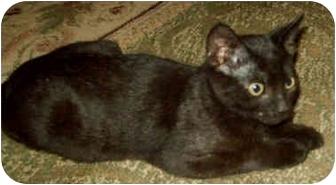 Domestic Shorthair Kitten for adoption in Marseilles, Illinois - LAST one!