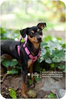 Miniature Pinscher Mix Dog for adoption in Sherman Oaks, California - Jilly