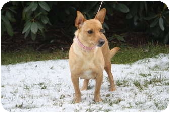 Dachshund/Feist Mix Dog for adoption in West Milford, New Jersey - BAMBI
