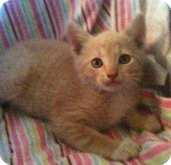 Domestic Shorthair Kitten for adoption in Newburgh, Indiana - Jake