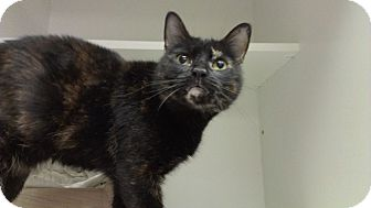Domestic Shorthair Cat for adoption in Richboro, Pennsylvania - Augusta Webster