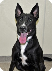 Shepherd (Unknown Type) Mix Dog for adoption in Port Washington, New York - Ali