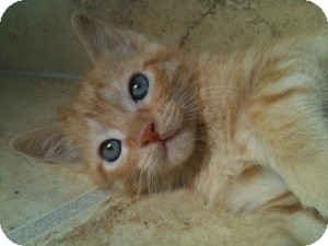 British Shorthair Kitten for adoption in Denton, Texas - Romeo