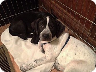 Labrador Retriever/Pointer Mix Puppy for adoption in Colleyville, Texas - Alice