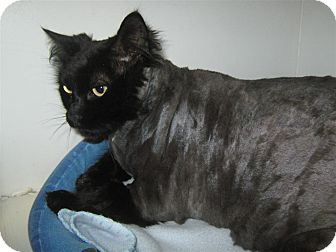 Domestic Longhair Cat for adoption in Elliot Lake, Ontario - Missy