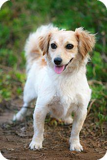 Sheltie, Shetland Sheepdog/Cocker Spaniel Mix Dog for adoption in El Cajon, California - HANNAH