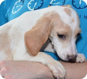 Hound (Unknown Type)/Beagle Mix Puppy for adoption in Gainesville, Florida - Renoir