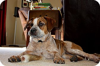 Boxer Mix Puppy for adoption in Homewood, Alabama - Beau