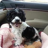 Adopt A Pet :: Louie 2 - Mt Gretna, PA