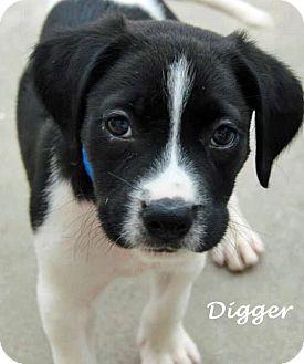 Dalmatian/Labrador Retriever Mix Puppy for adoption in Mandeville Canyon, California - Digger